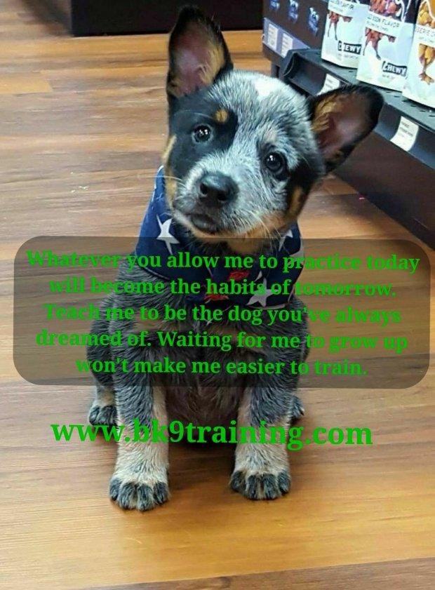 Heeler puppy quote