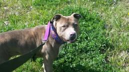 blue pitbull bennett canine training